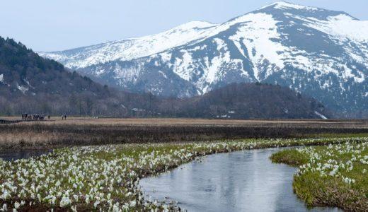 湿原に咲き始めたミズバショウ 尾瀬国立公園