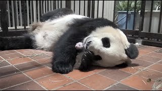 6月27日に公開された生後2週間のパンダ