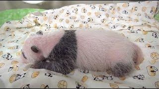 名前をつけてね、パンダの赤ちゃんもうすぐ1カ月