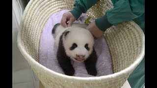 生後2カ月の赤ちゃんパンダ