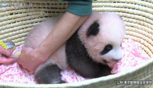 パンダの赤ちゃん(80日齢)身体測定