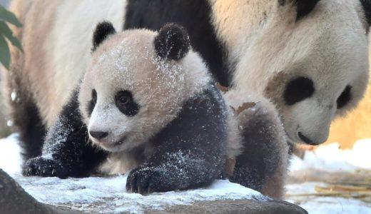 シャンシャン雪遊び=ジャイアントパンダ(227日齢)の映像