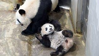 ジャイアントパンダのシャンシャン(258日齢)の映像