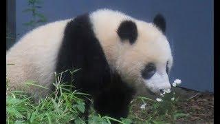 シャンシャン、お花を「くんくん」=ジャイアントパンダ(329日齢)の映像