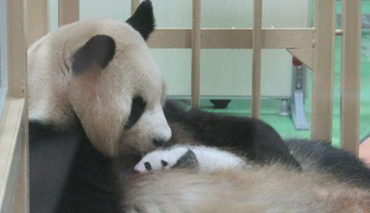赤ちゃんパンダ公開始まる 母親良浜も、和歌山・白浜