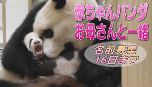 アドベンチャーワールド 赤ちゃんパンダ お母さんと一緒