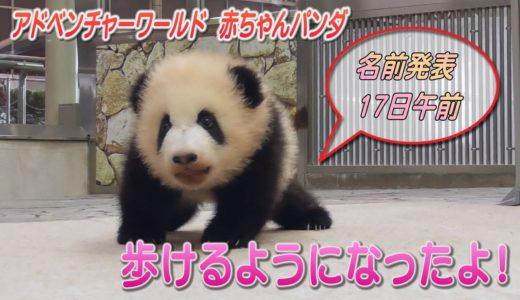歩けるようになったよ! アドベンチャーワールドのパンダの赤ちゃん 和歌山
