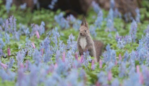 花畑にリス、ひょっこり 北海道、エゾエンゴサクが見頃