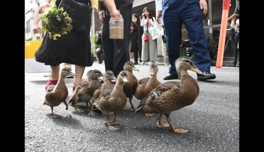 京都・要法寺で〝カモの引っ越し〟 子ガモ9羽が鴨川へ