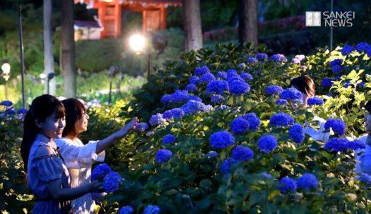 梅雨を前に 京都・三室戸寺であじさいライトアップ