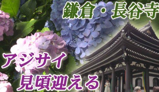 鎌倉・長谷寺のアジサイ 見頃迎える