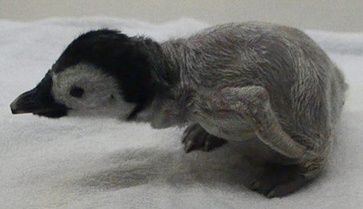 エンペラーペンギンの赤ちゃん誕生 和歌山県白浜町
