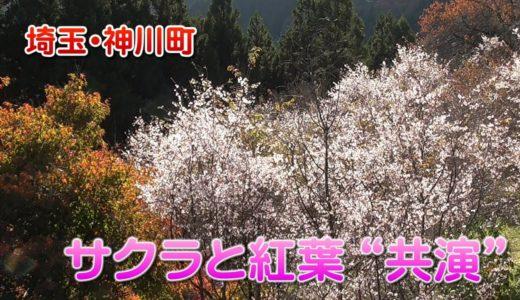 """サクラと紅葉が""""共演"""" 埼玉・神川町"""