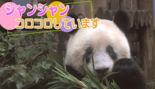 シャンンシャン コロコロしています 上野動物園のジャイアントパンダ