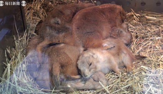 プレーリードッグ、おしくらまんじゅう 北九州の動物園