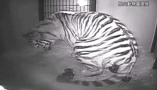 旭山動物園でアムールトラが出産 3頭スクスク
