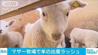 マザー牧場でヒツジの出産ラッシュ 千葉・富津市(20/02/22)