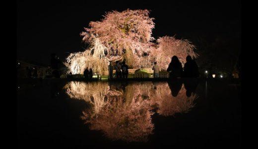 「京の桜」円山公園(京都市東山区)の枝垂れ桜