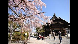 「京の桜」醍醐寺(京都市伏見区)の桜