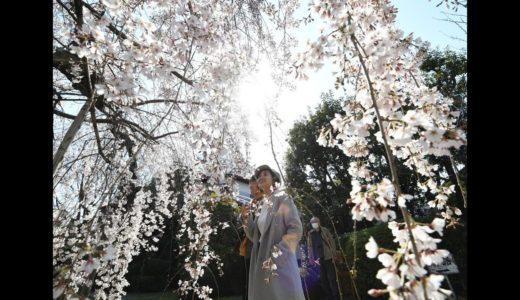 [京の桜]長建寺(京都市伏見区)の糸桜