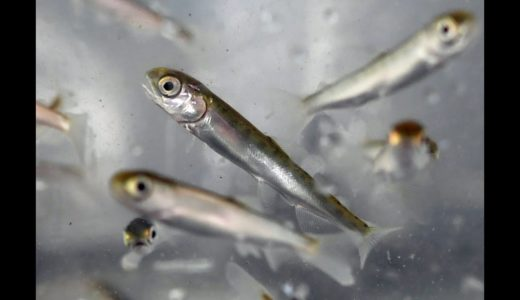京都・由良川にサケの稚魚放流