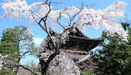 「京の桜」知恩院友禅苑(京都市東山区)の枝垂れ桜