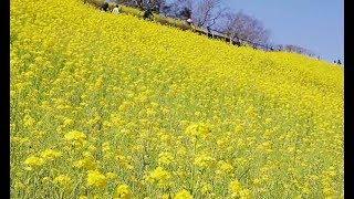 斜面を黄色く彩る菜の花