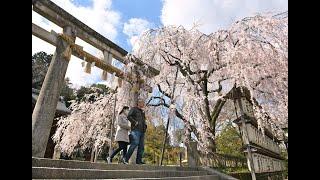 「京の桜」大石神社(京都市山科区)の枝垂れ桜(大石桜)