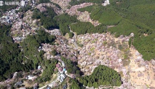 奈良 吉野山の山肌桜色に シロヤマザクラなど見ごろ