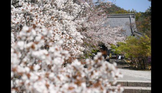 「京の桜」動画でめぐる今年の京都の桜