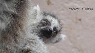 ワオキツネザルの赤ちゃん2頭誕生 白浜