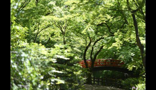 京都・北野天満宮 公開中止の御土居の青モミジが光り輝く