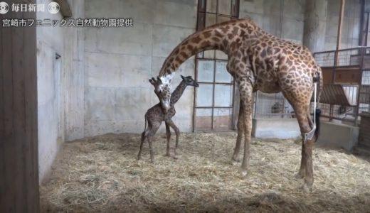 母親の体から足が…来園者ら気づく マサイキリンの赤ちゃん誕生 宮崎・フェニックス自然動物園