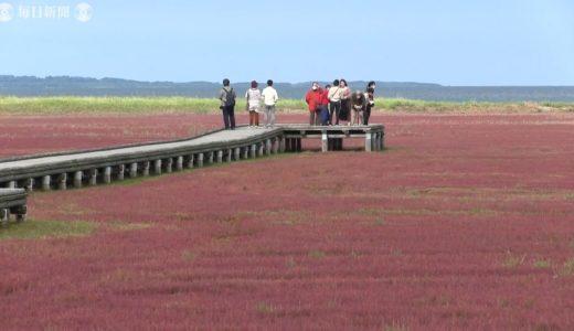 網走の湖に真っ赤なじゅうたん「サンゴ草」