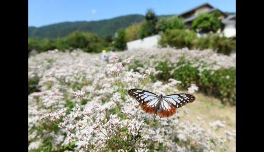 フジバカマ園が見頃で「アサギマダラ」が飛来 京都・大原野