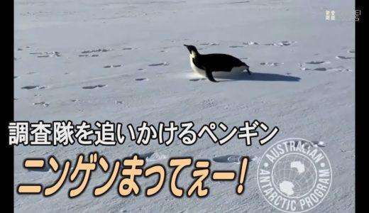 ニンゲン待ってよー! 腹ですべって調査隊についてくるペンギン