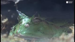 かんさいアニマルズ 須磨海浜水族園のキオビヤドクガエルとアマゾンツノガエル