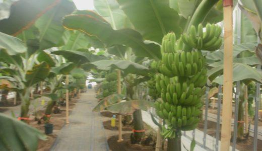 北海道で南国バナナ生産 皮ごと食べられ高糖度