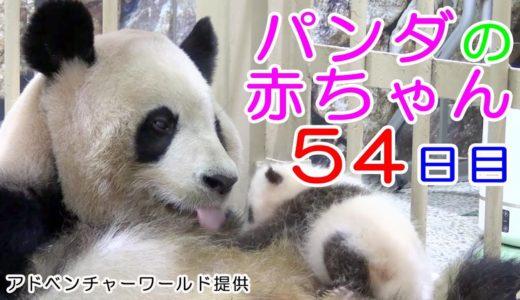 アドベンチャーワールド パンダの赤ちゃん 54日目